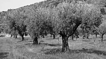Olive trees Calabria